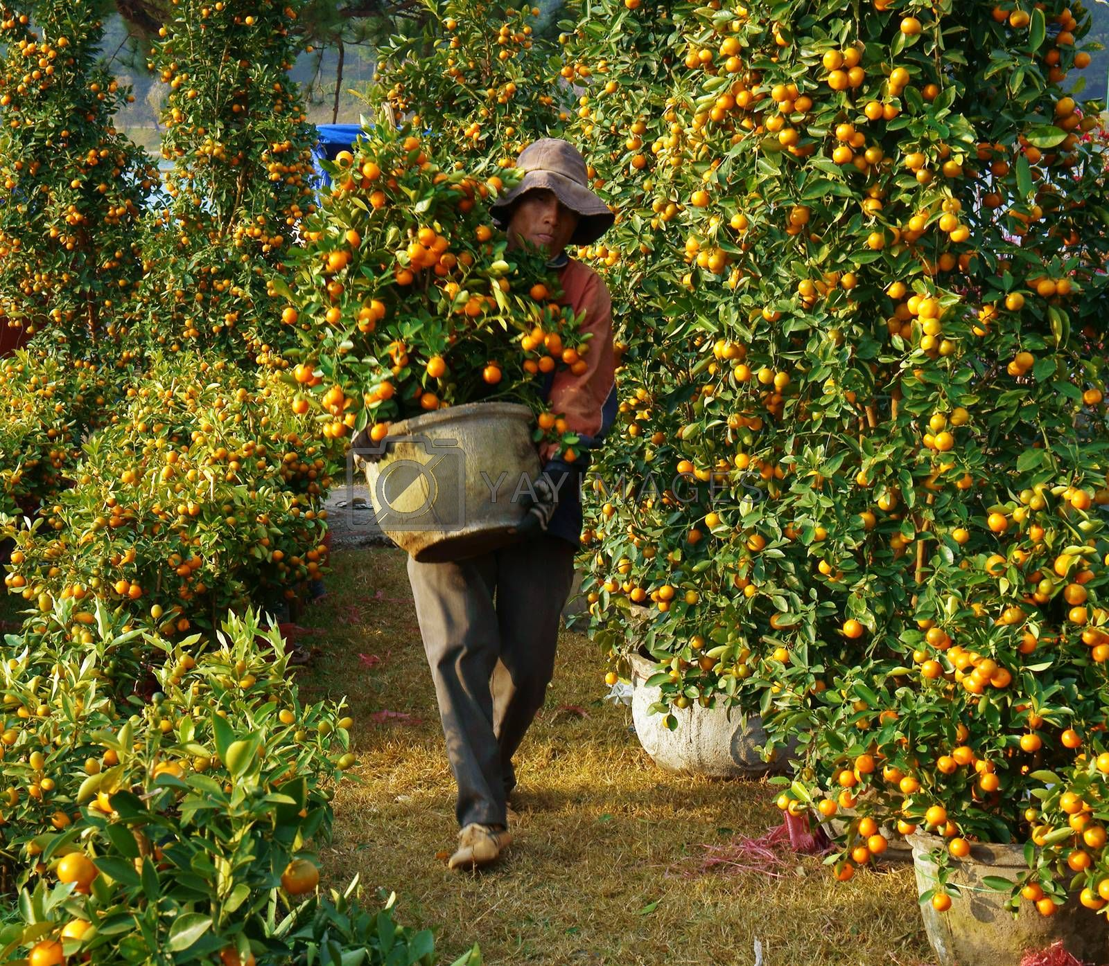 Vietnamese people sale citrus tree at market by xuanhuongho