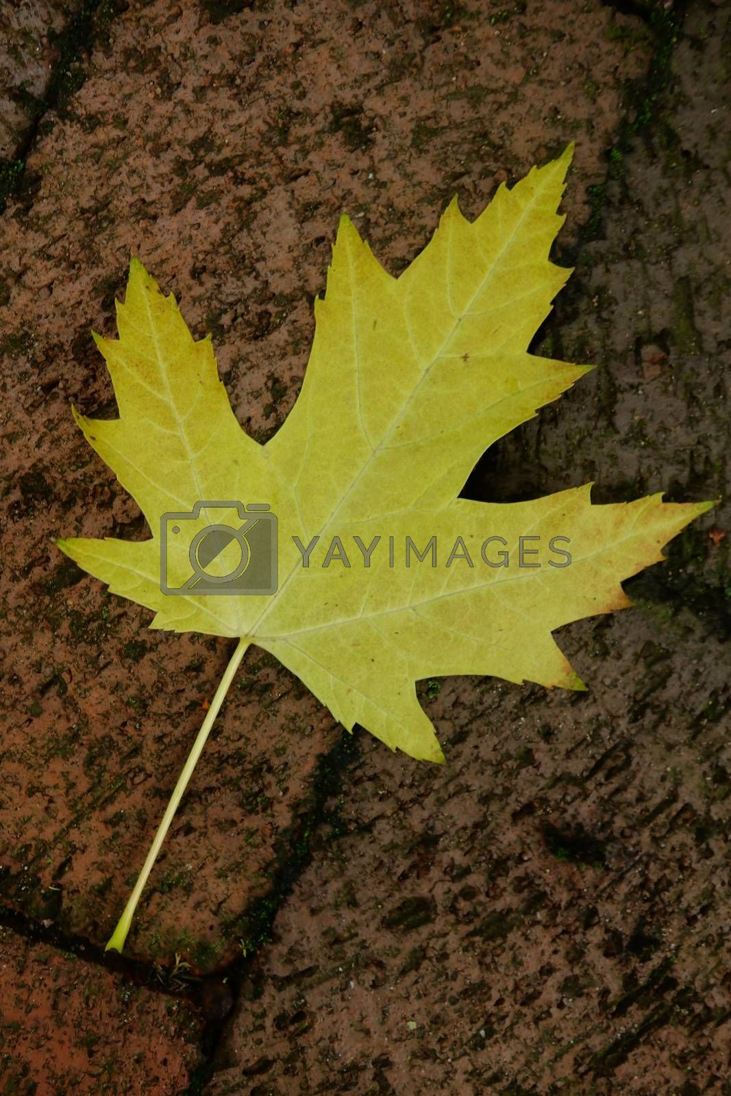Yellow Sycamore Leaf by James53145