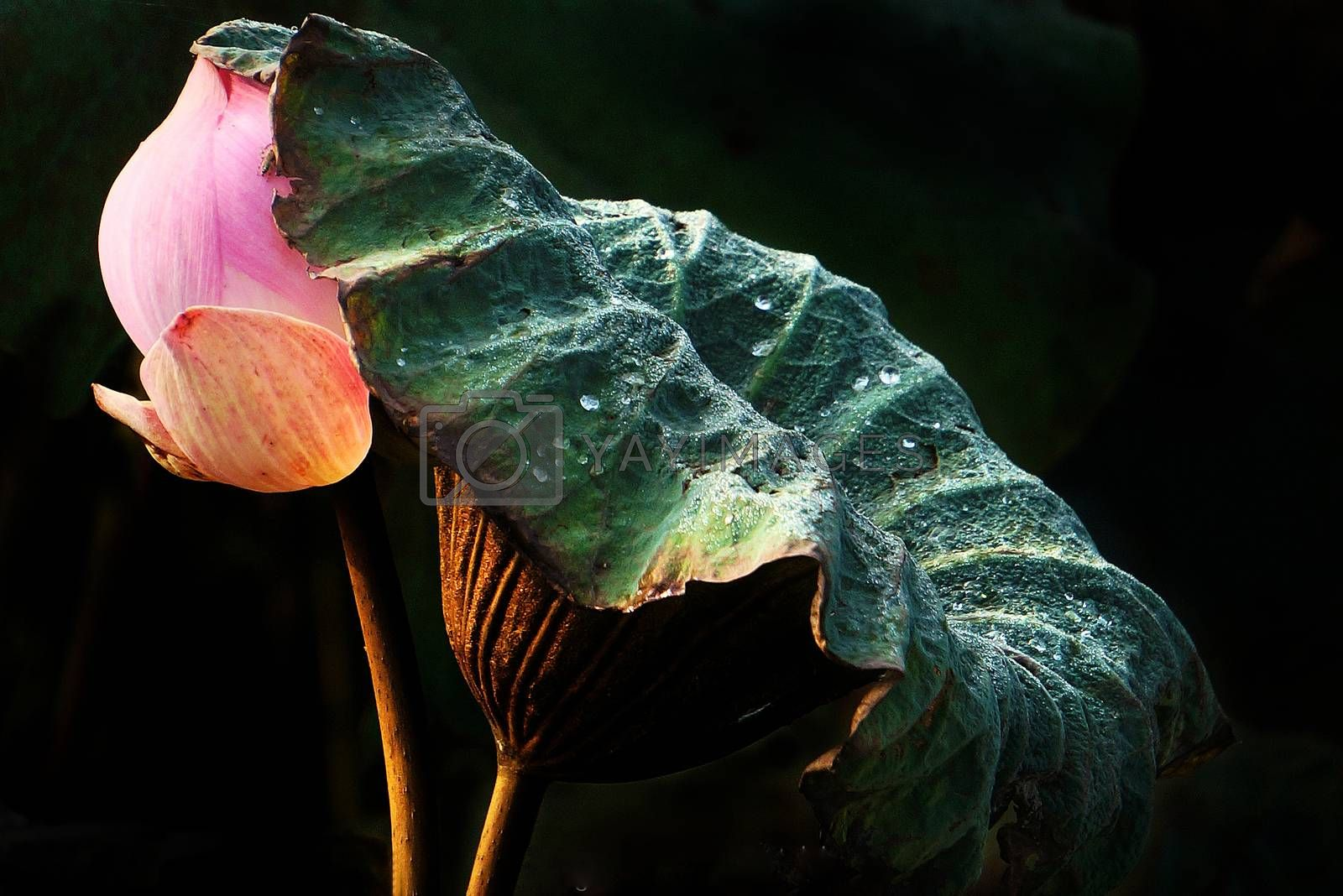 Abstract of lotus leaf protect lotus flower by xuanhuongho