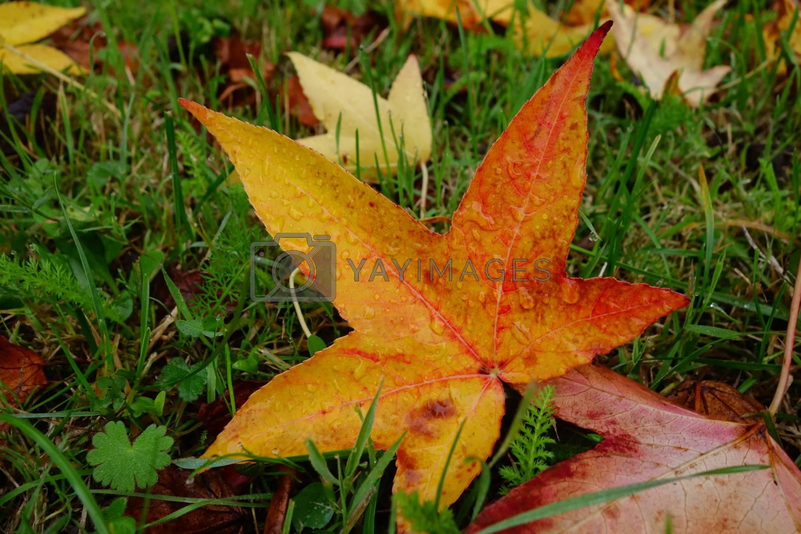 Sweet Gum Leaf by James53145