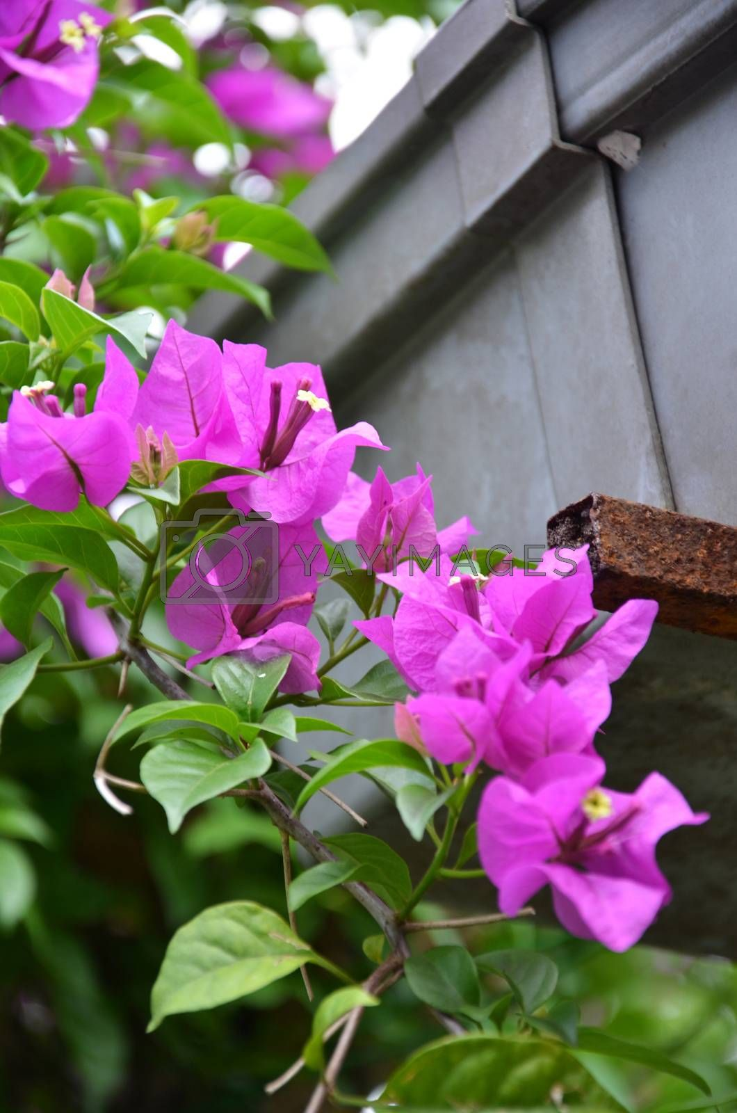 Bougainvillea by tang90246