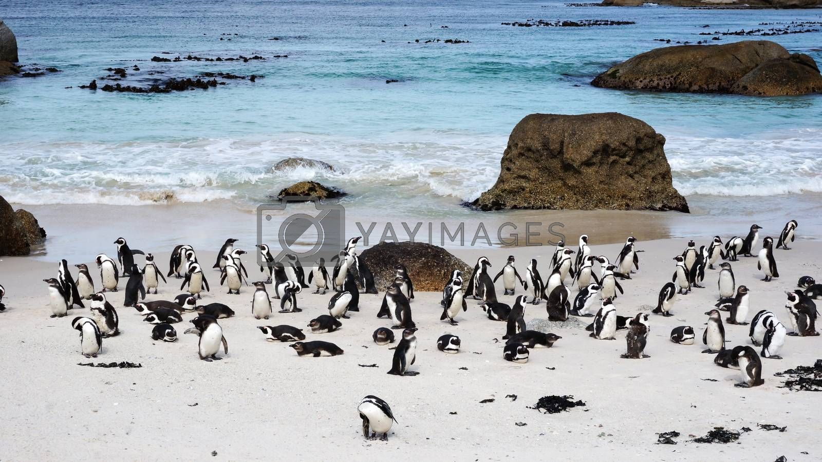 African Penguins on Boulders Beach by tang90246