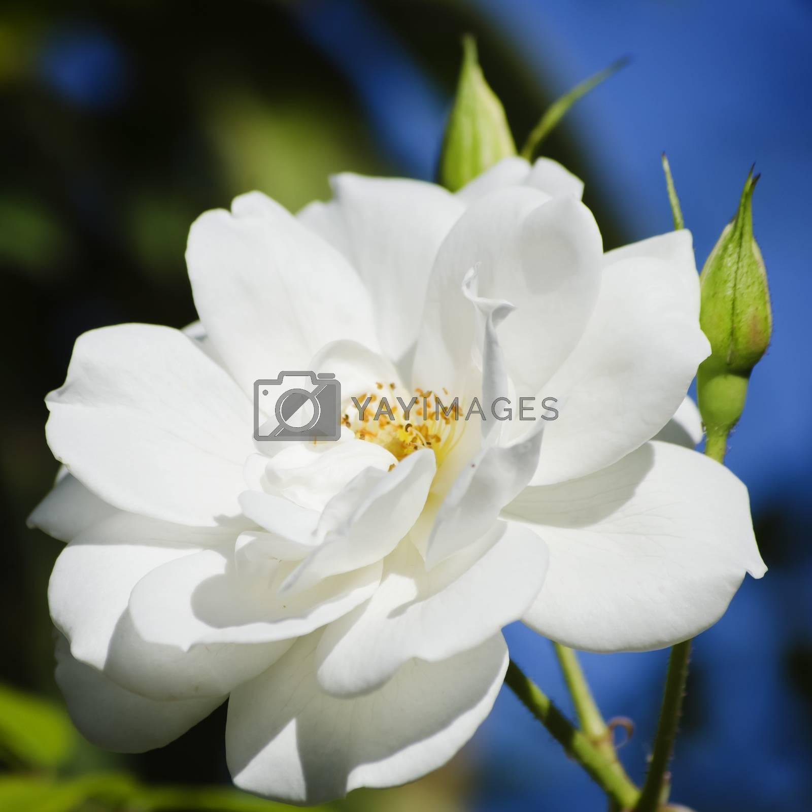 Single Close Up White Rose Over Blue Sky Background