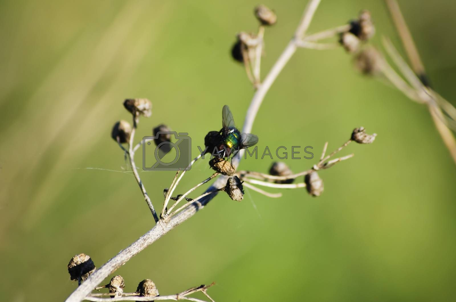 Single Autumn Fly Over Natural Green Background