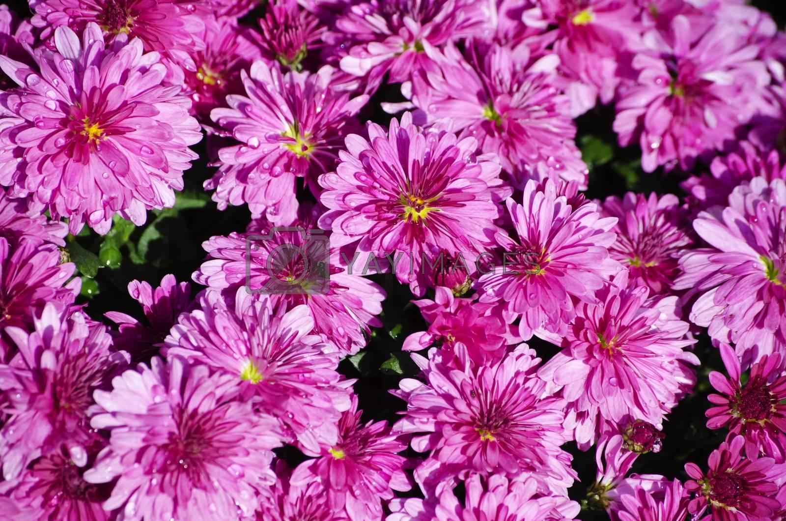Photo of Bright Chrysanthemum Flower Background