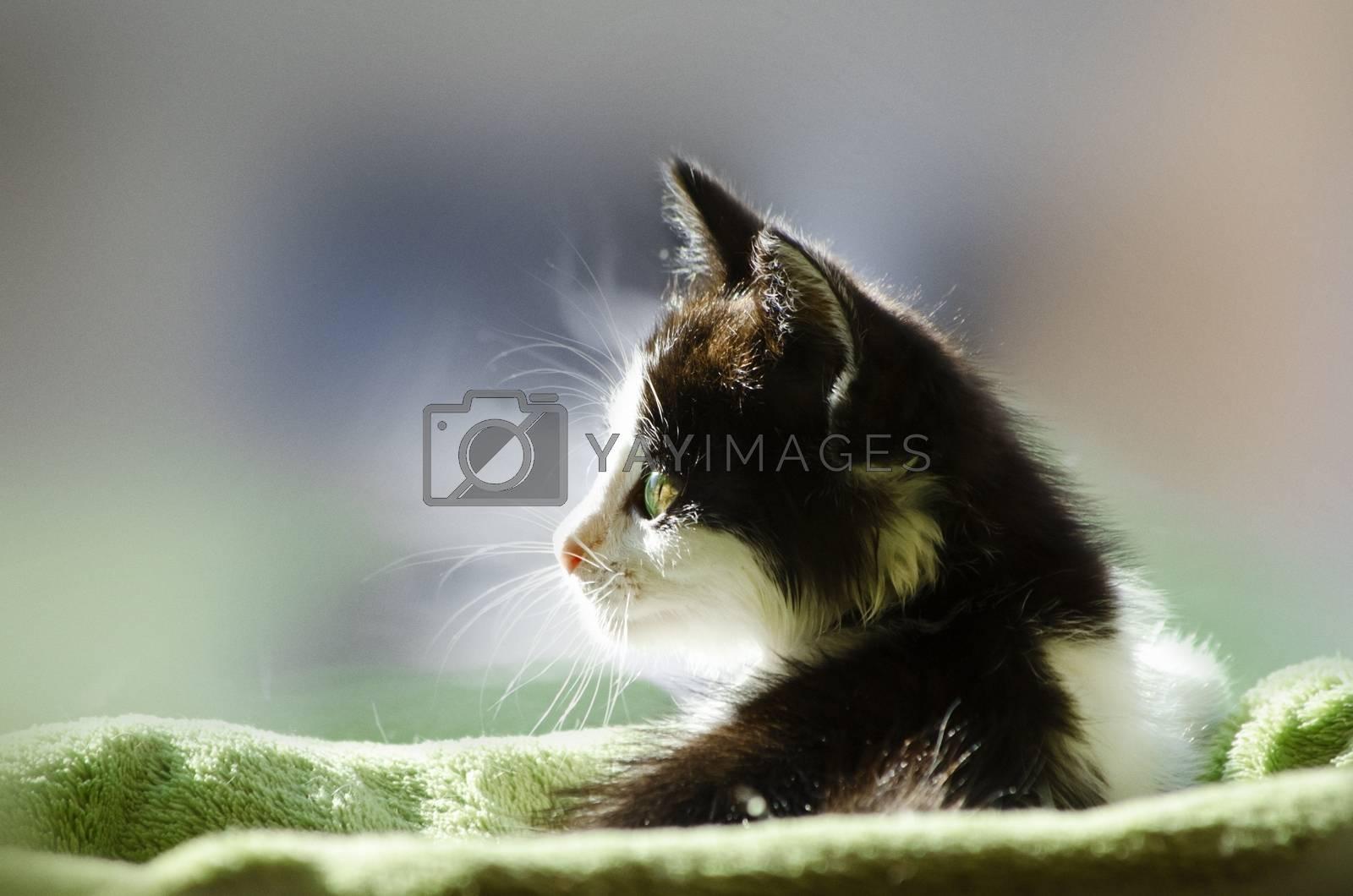 Pretty Little Black and White Kitten