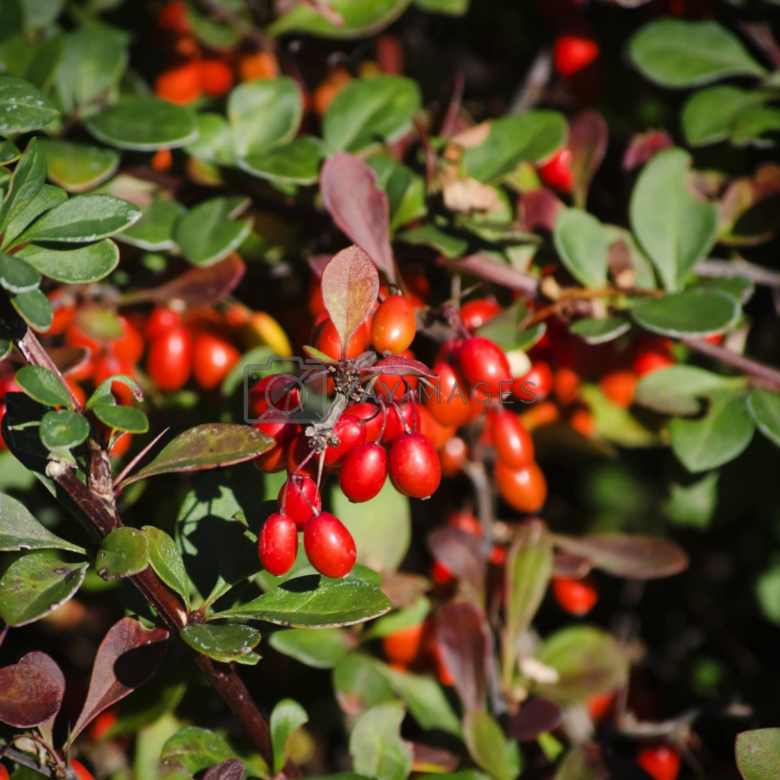 Photo of Red Barberry Plant in Autumn Time