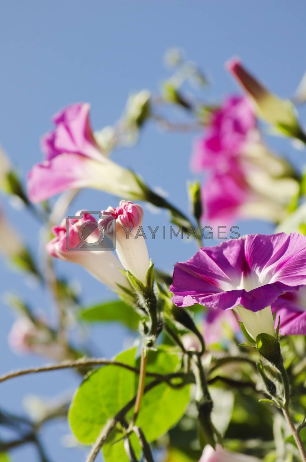 Photo Of Petunia Flower Over Natural Background