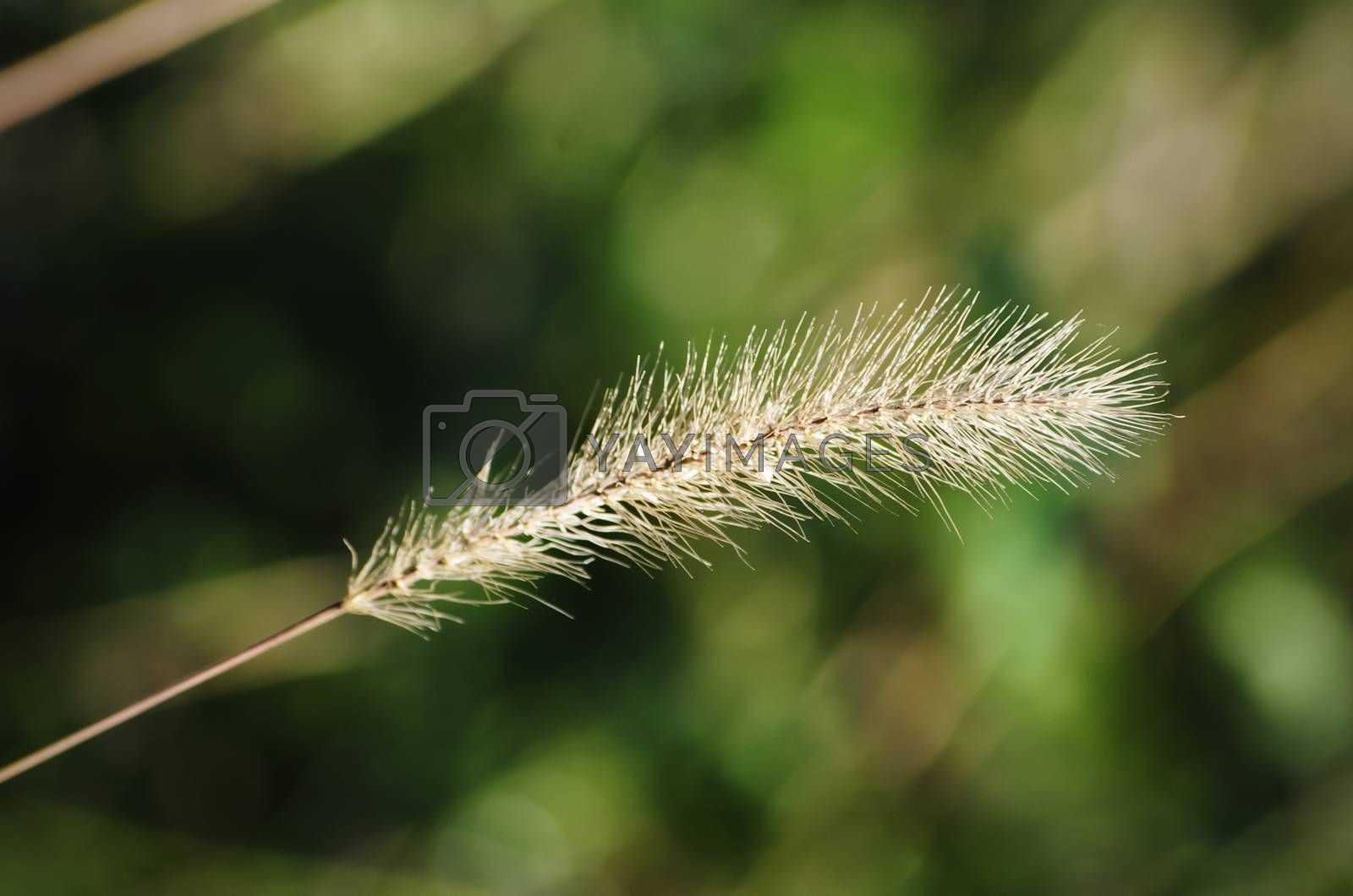 Dry Plant Over Natural Green  Background