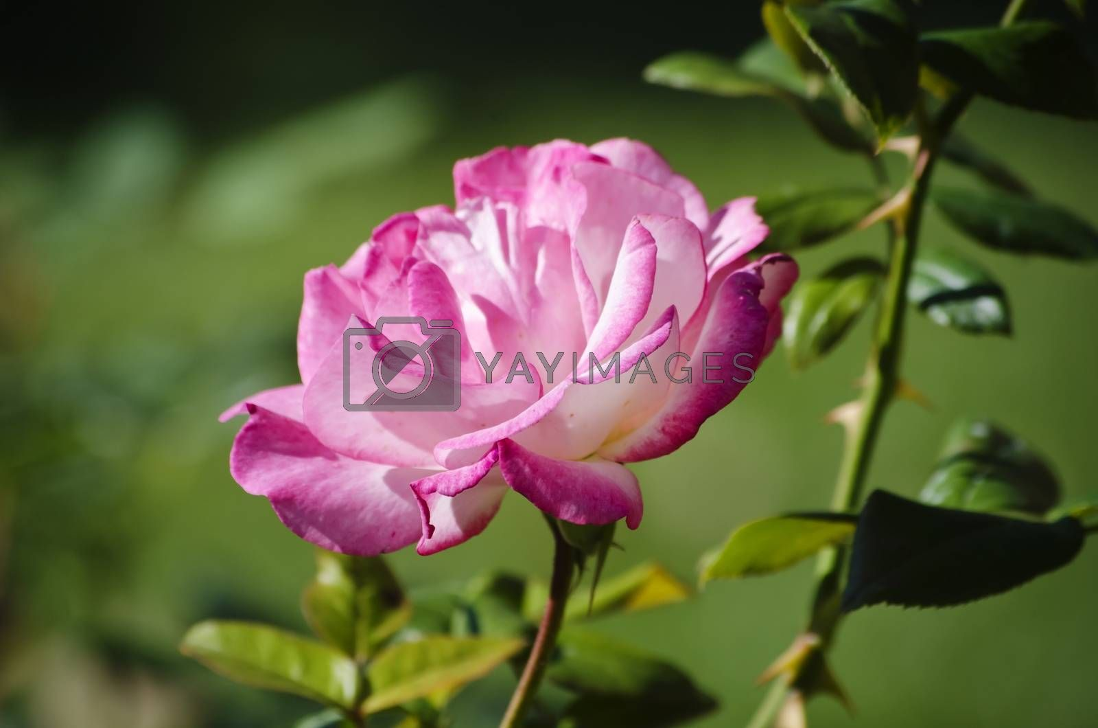 Single Close Up Pink Rose Over Natural Green Background