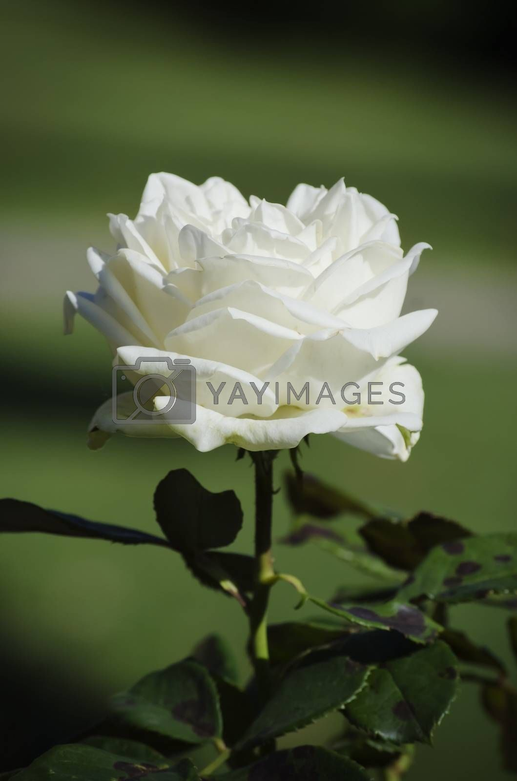 Single Close Up White Rose Over Natural Green Background