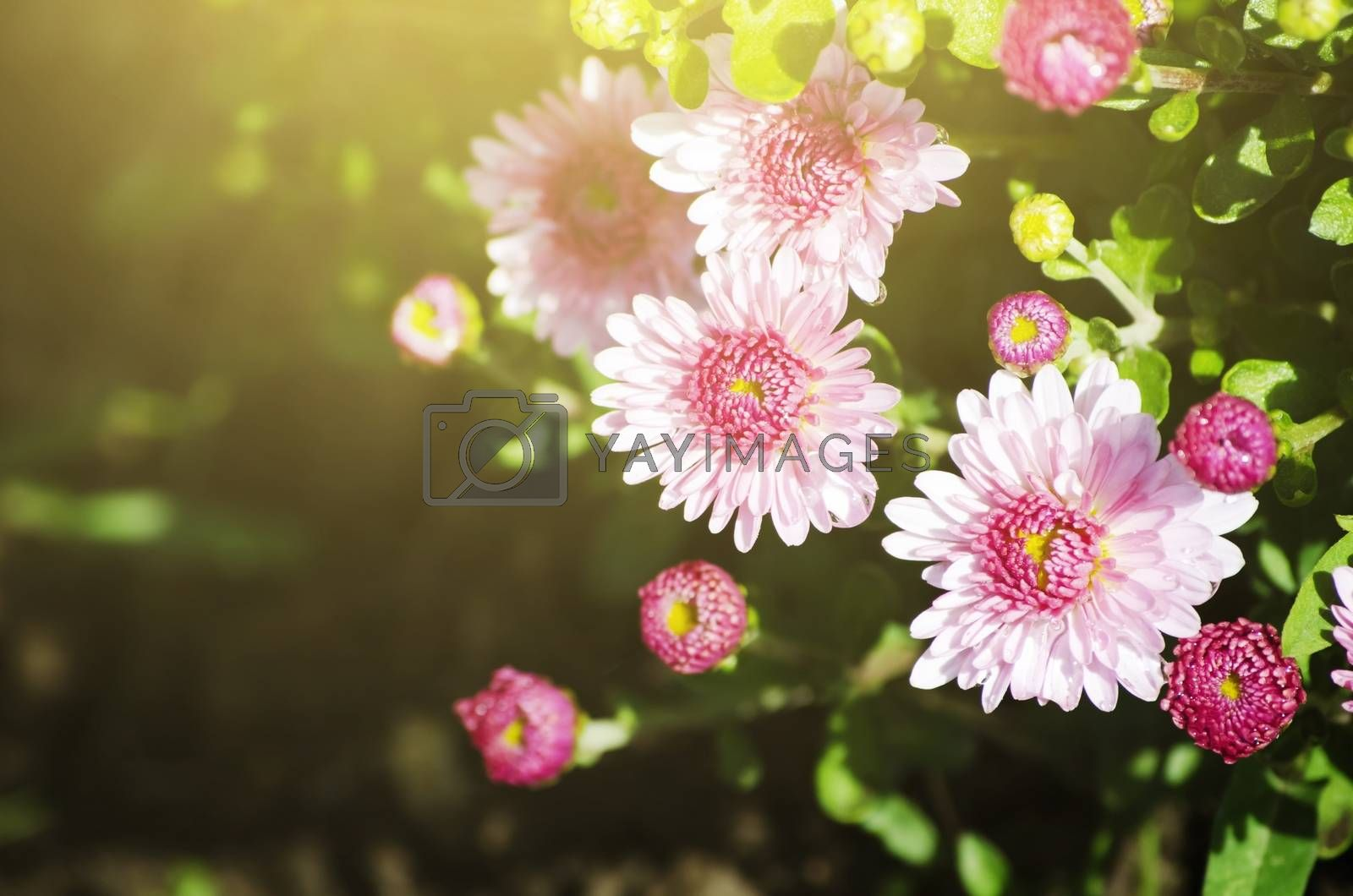 Photo of Bright Chrysanthemum Flower In Sunny Day