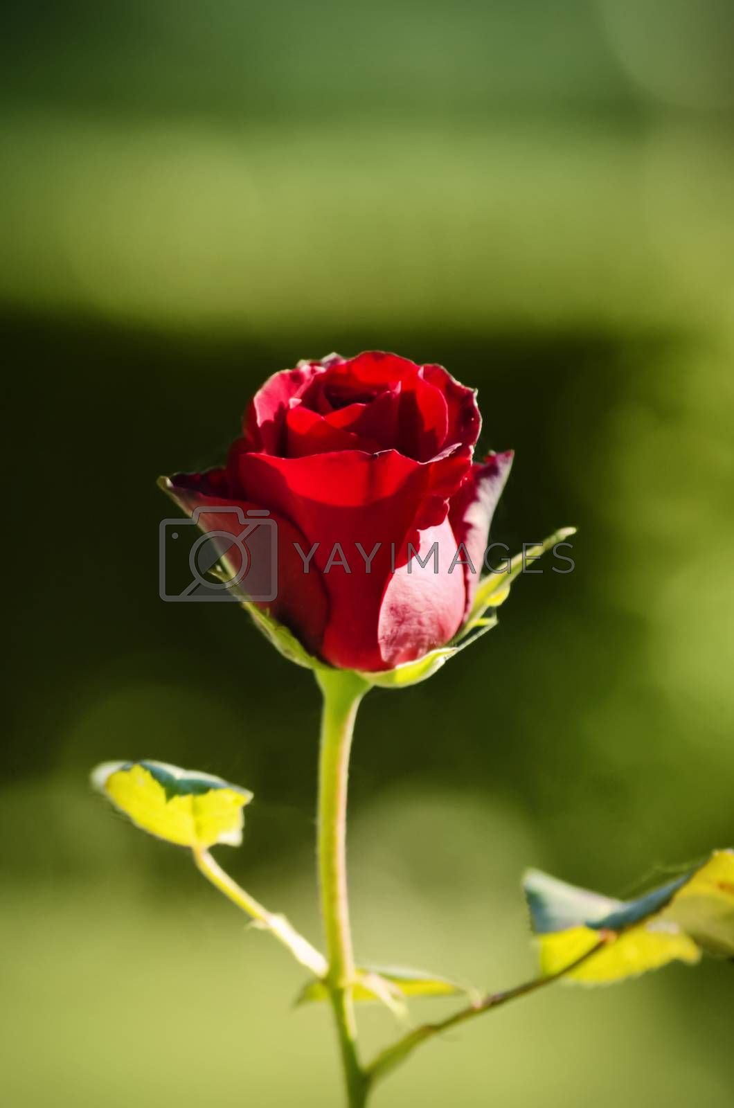 Single Close Up Red Rose Over Natural Green Background