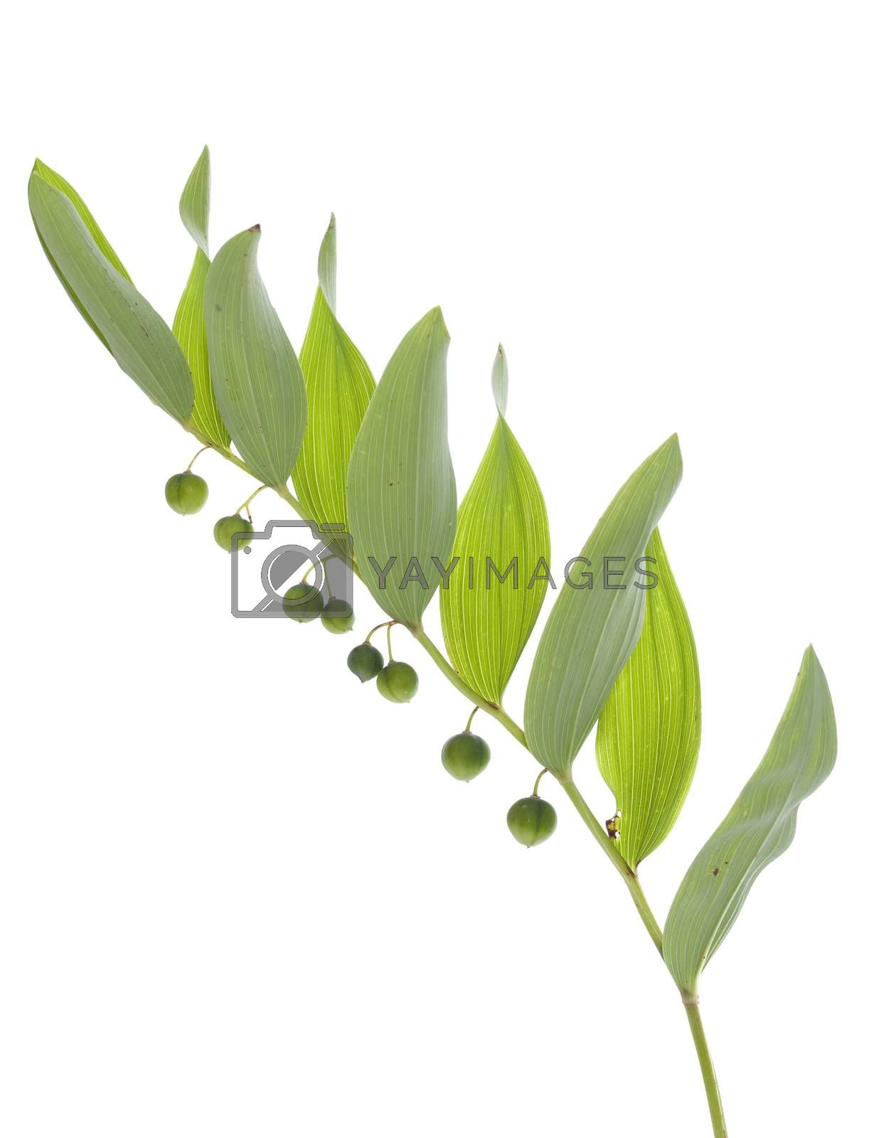 leaf with green fruit on white background