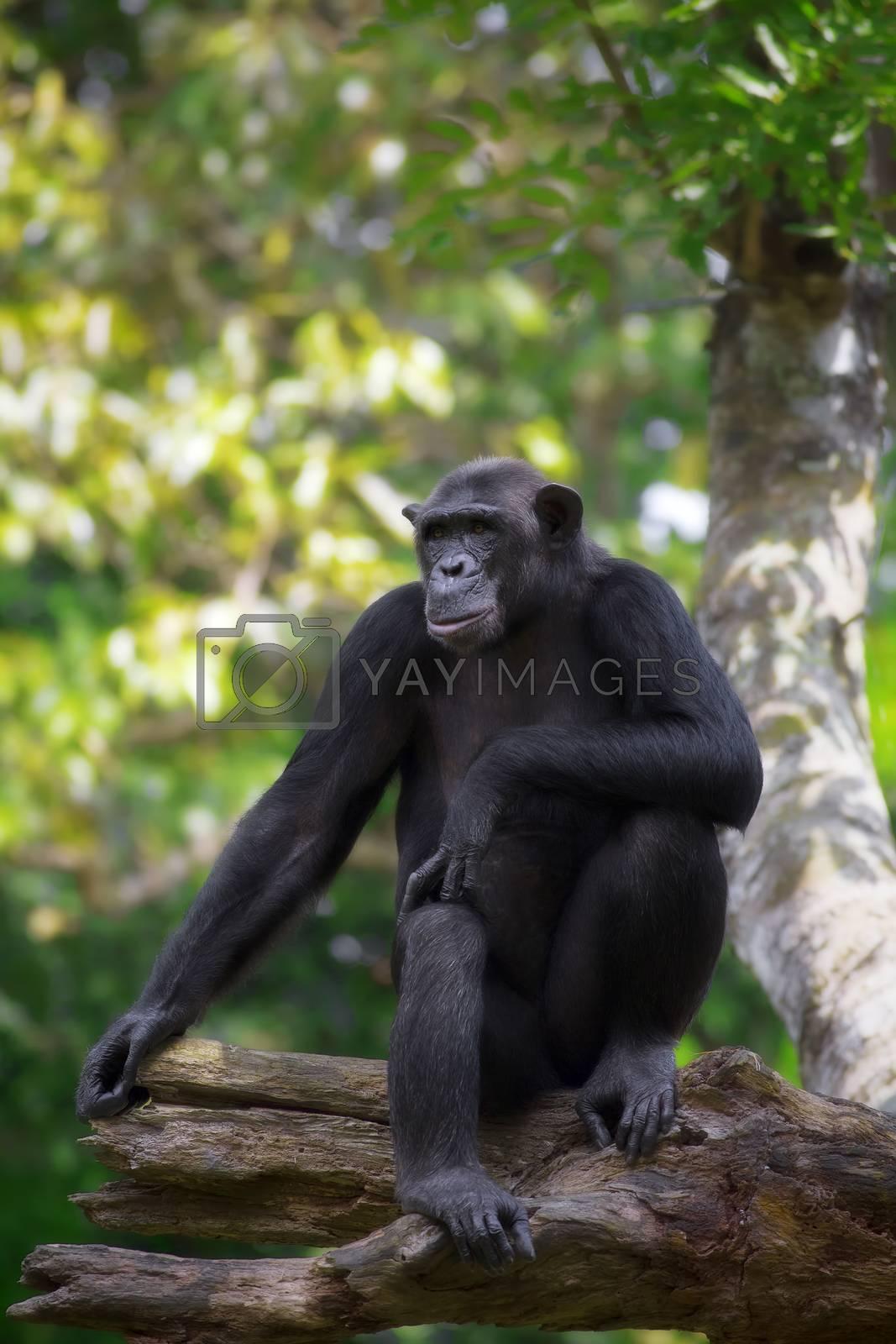 Portrait of a Common Chimpanzee in the wild