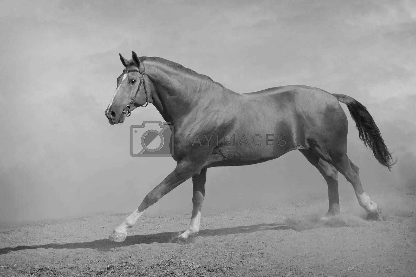 Horse galloping in sand and dust. Black and white photo.