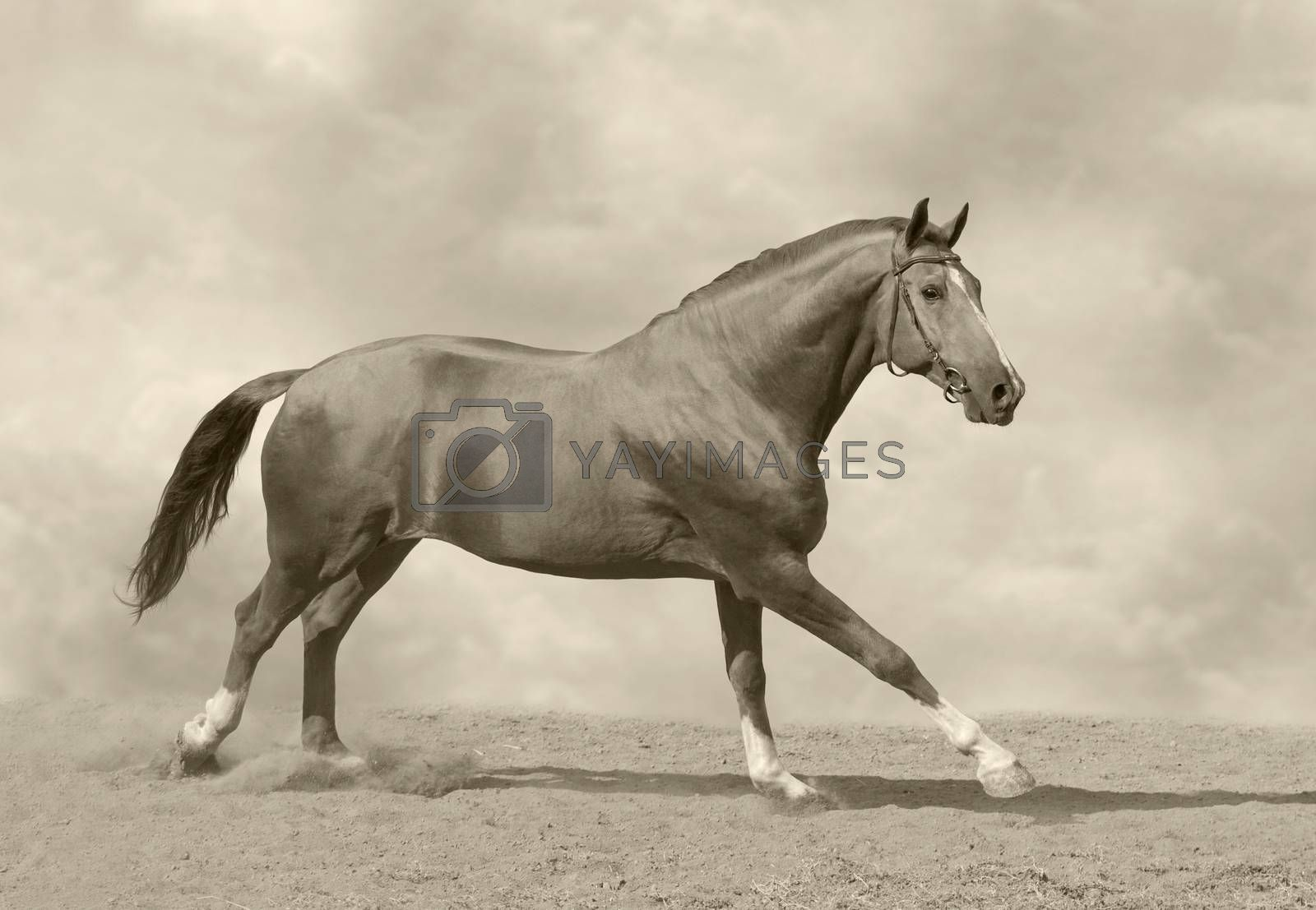 Horse galloping in sand and dust. Toned image.
