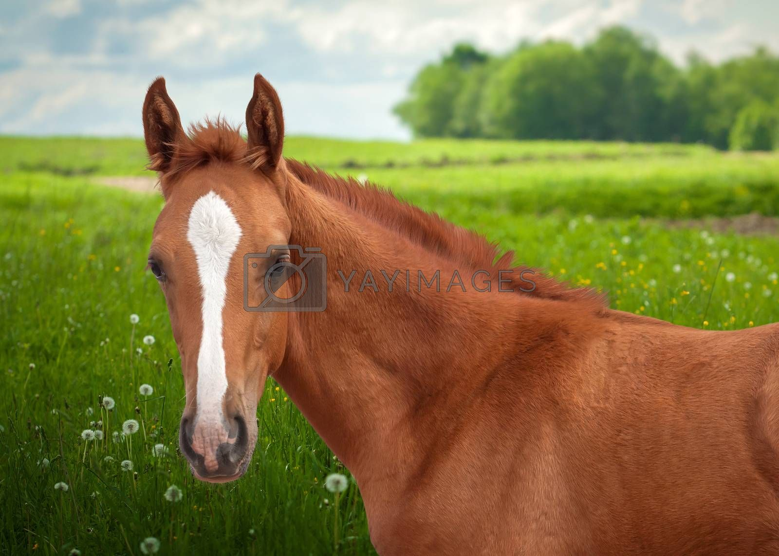 Portrait of a beautiful red foal