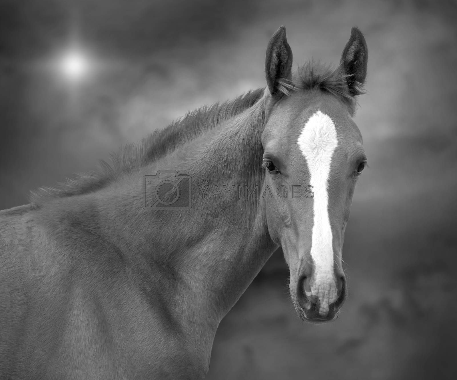 Monochrome portrait of a foal