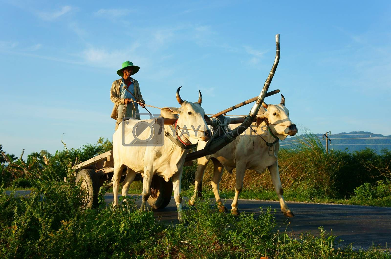 CHAU DOC, VIET NAM- SEP 20: Amazing landscape of Vietnamese rural in morning,  ride wagon move on country road, beautiful white couple cow pull cart  with Asian man standing on, Vietnam, Sept 20, 2014