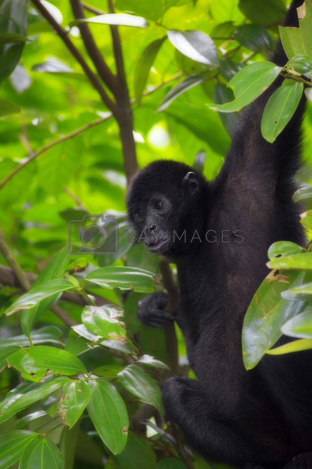 Spider Monkey in the green jungle of Costa Rica