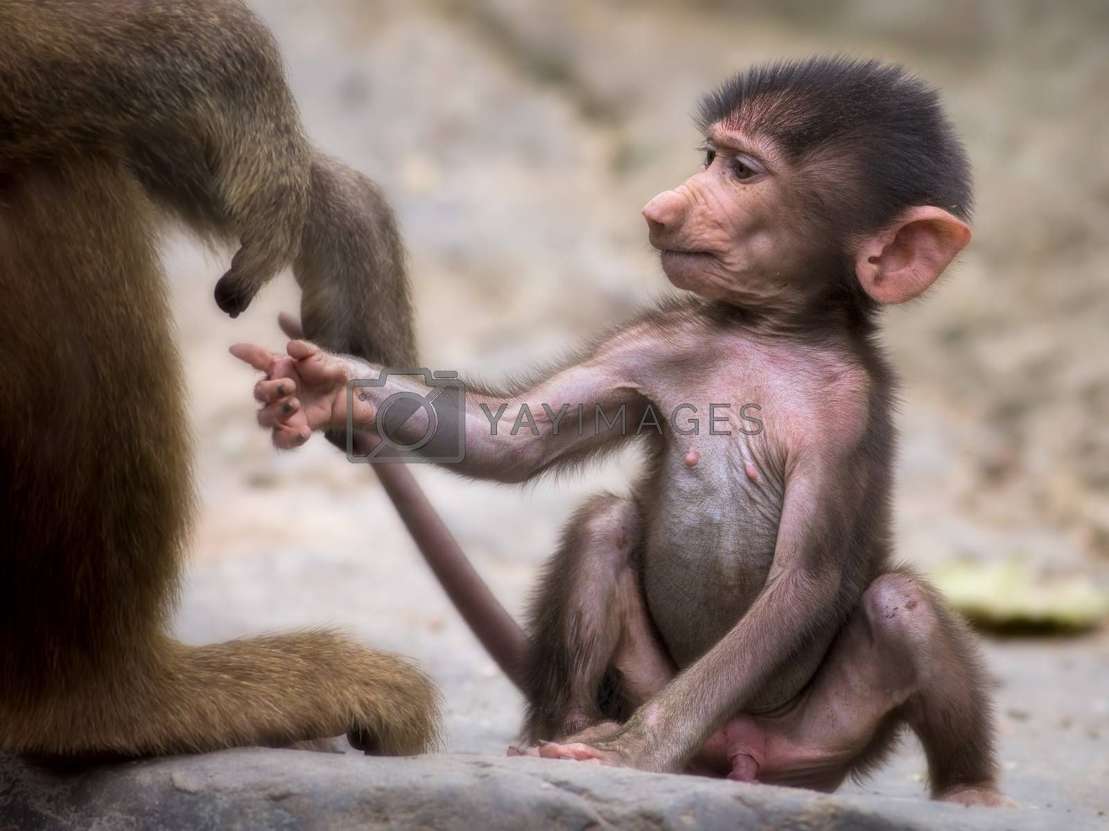Young baboon holding on to it's mothers hand