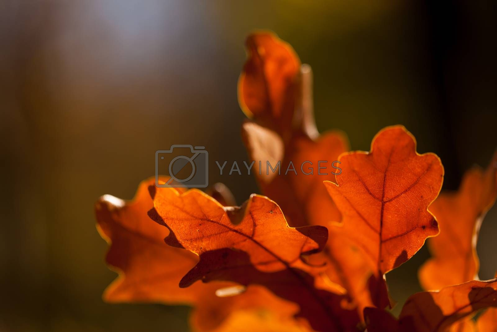 Colorful autumn leaves background. Close-up with blured background.