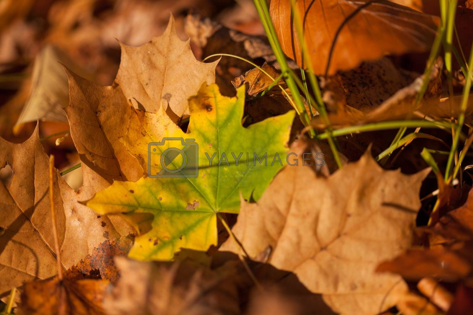 Fallen yellow and brown autumn leaves pattern background