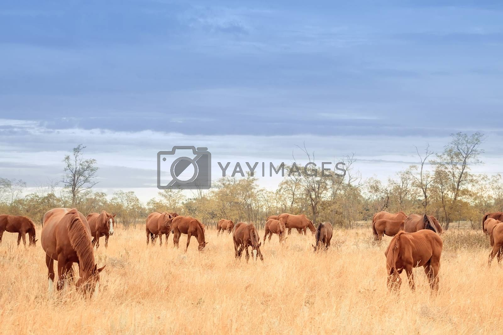 Herd of red horses in the steppe
