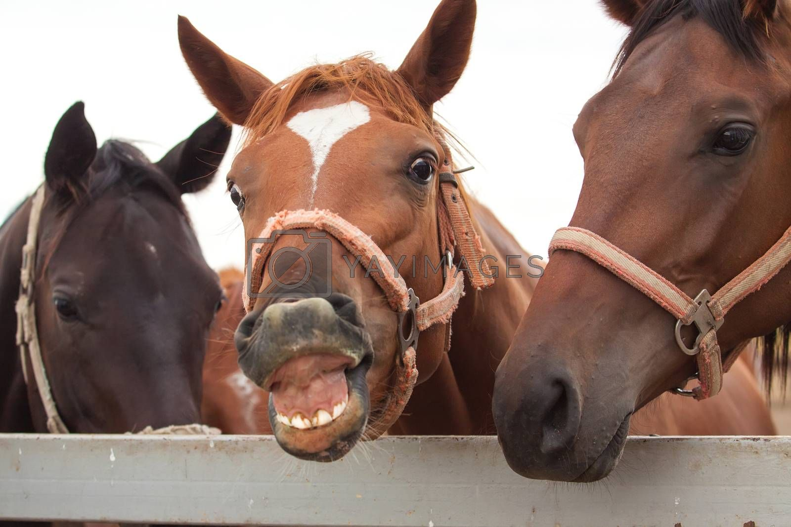 Cheerful horse smiling and showing his teeth