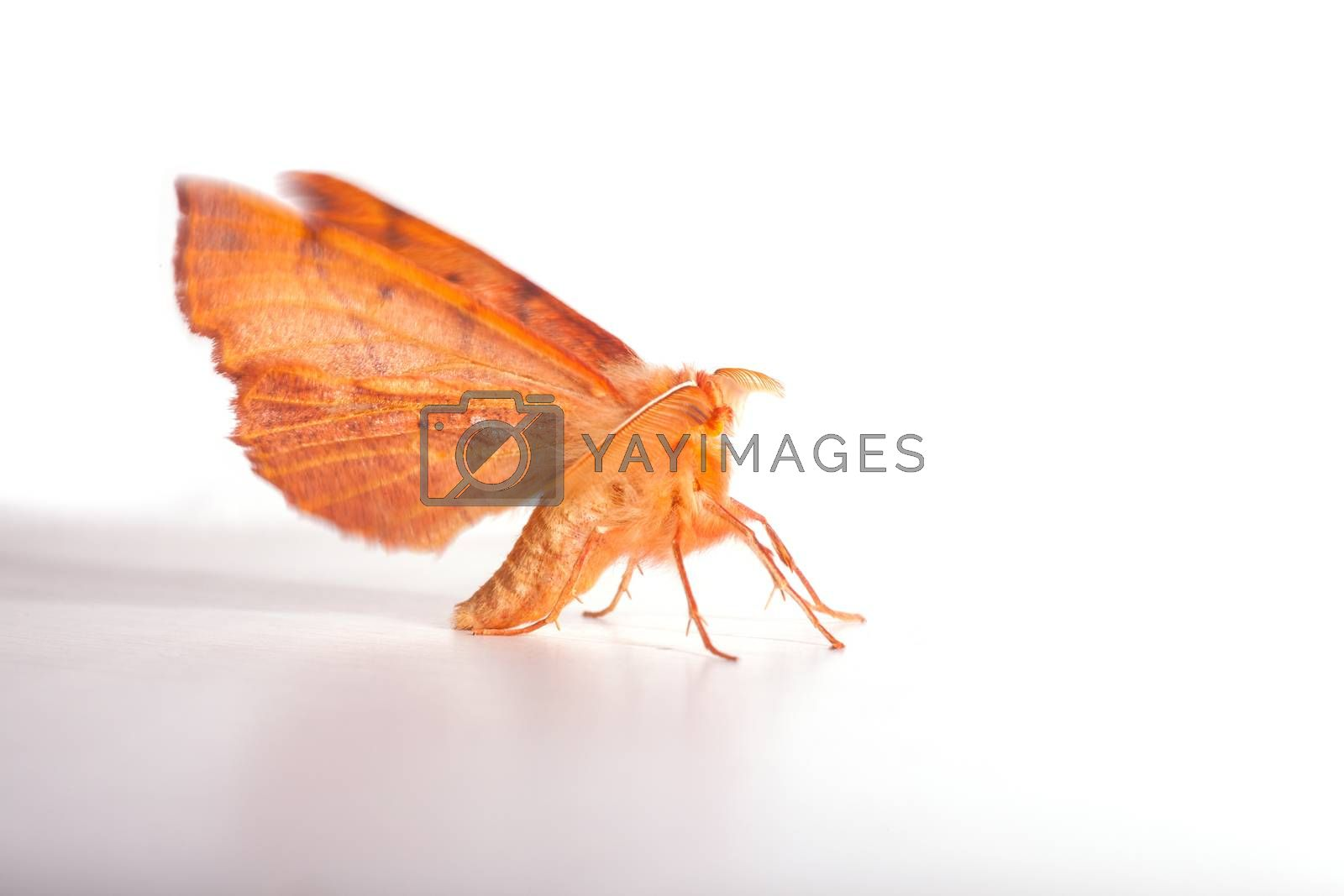 Close up of moth on white, insects related to the butterflies and belonging to the order Lepidoptera