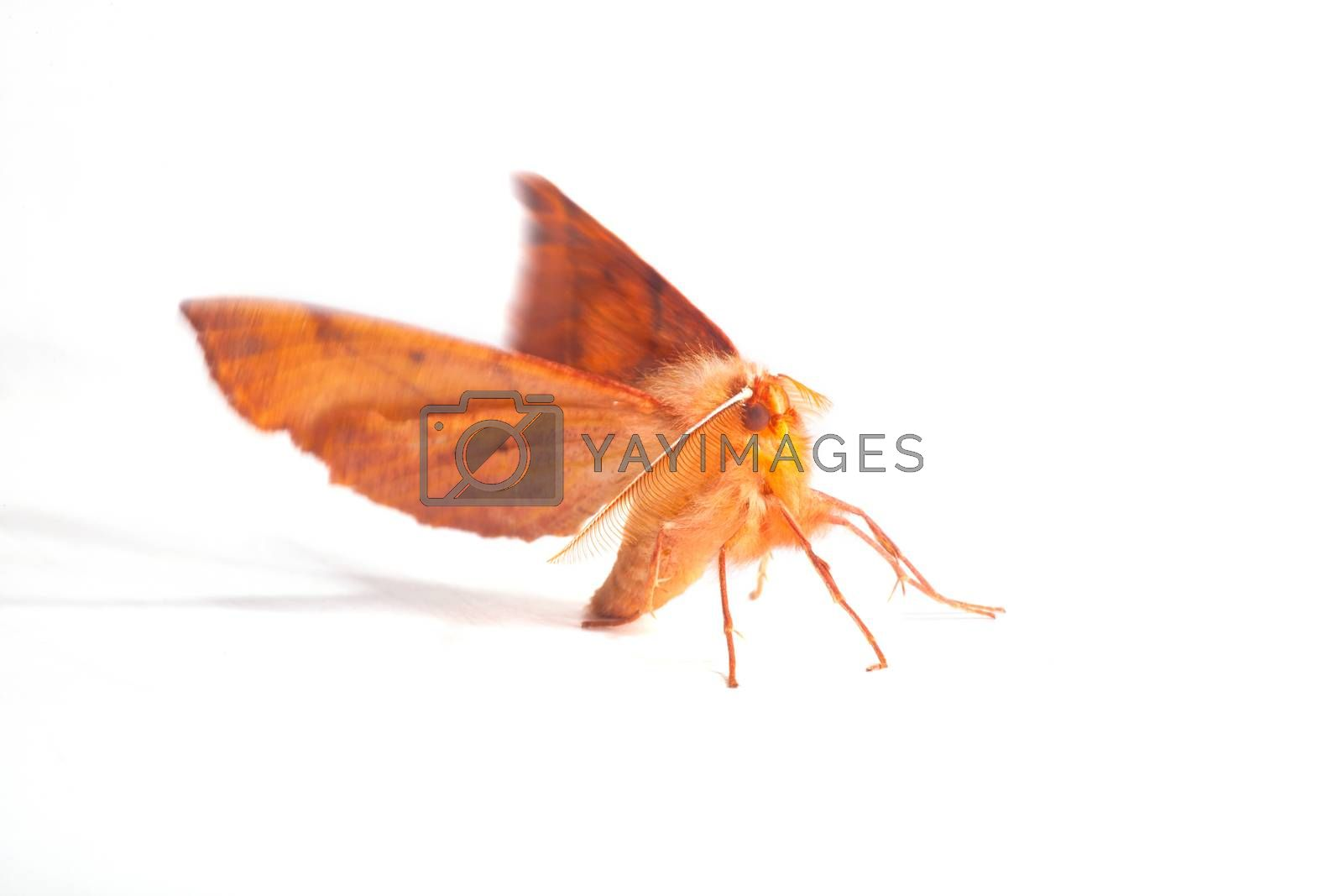 Close up of moth isolated on white background, insects related to the butterflies and belonging to the order Lepidoptera