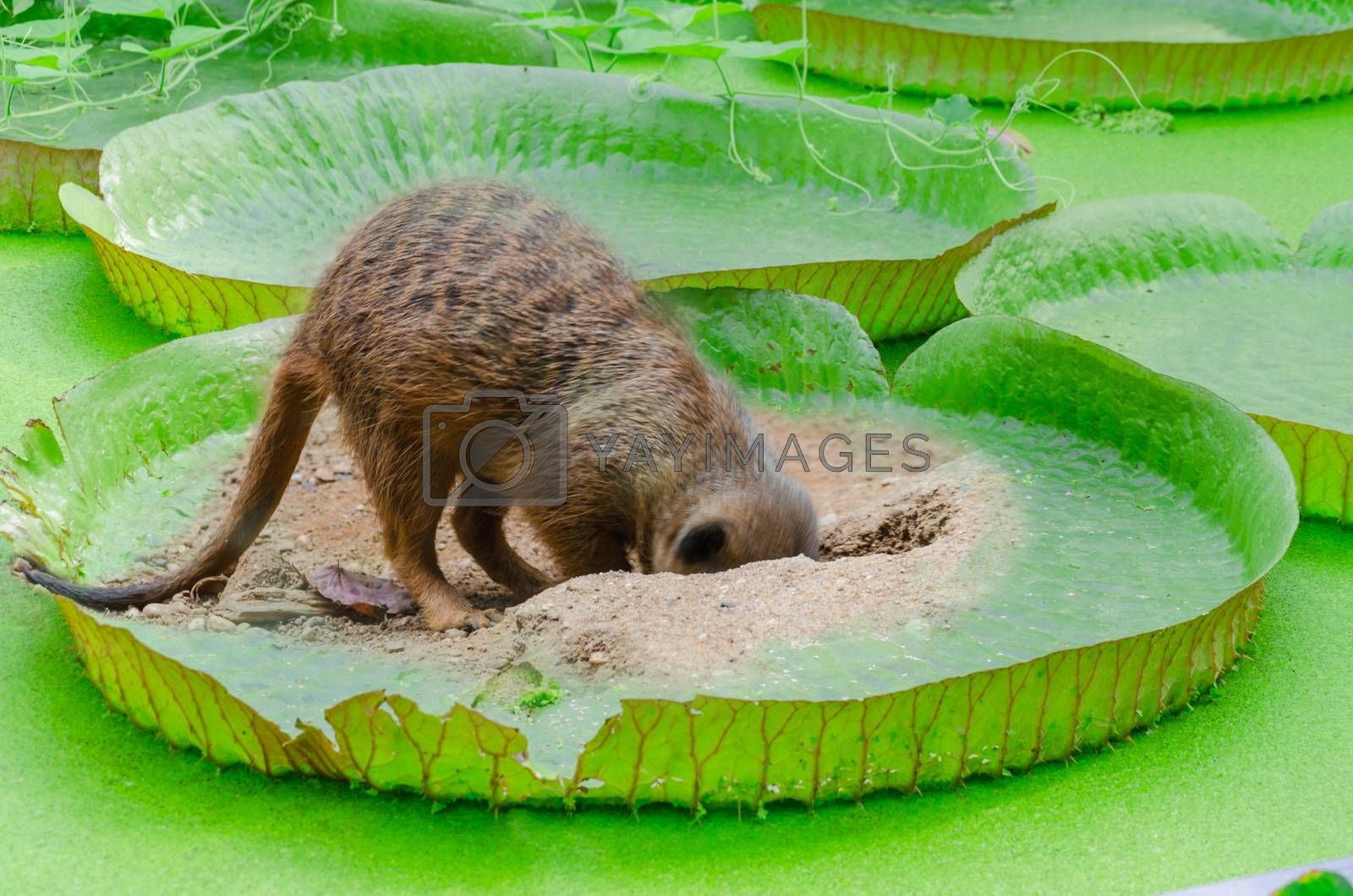Fun photo montage. Meerkat digs a hole in a leaf of Victoria water lily
