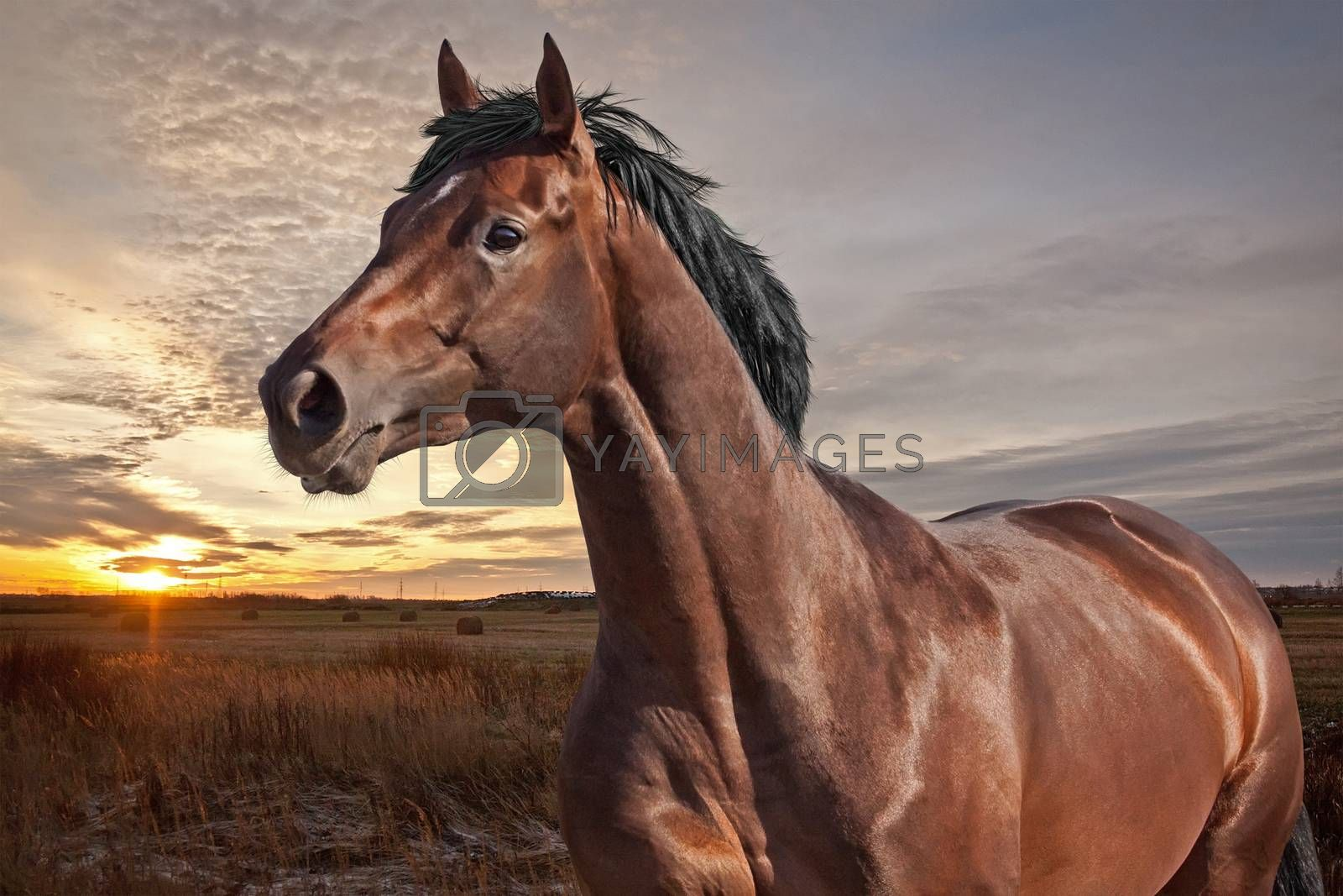 Dark bay horse at sunset time