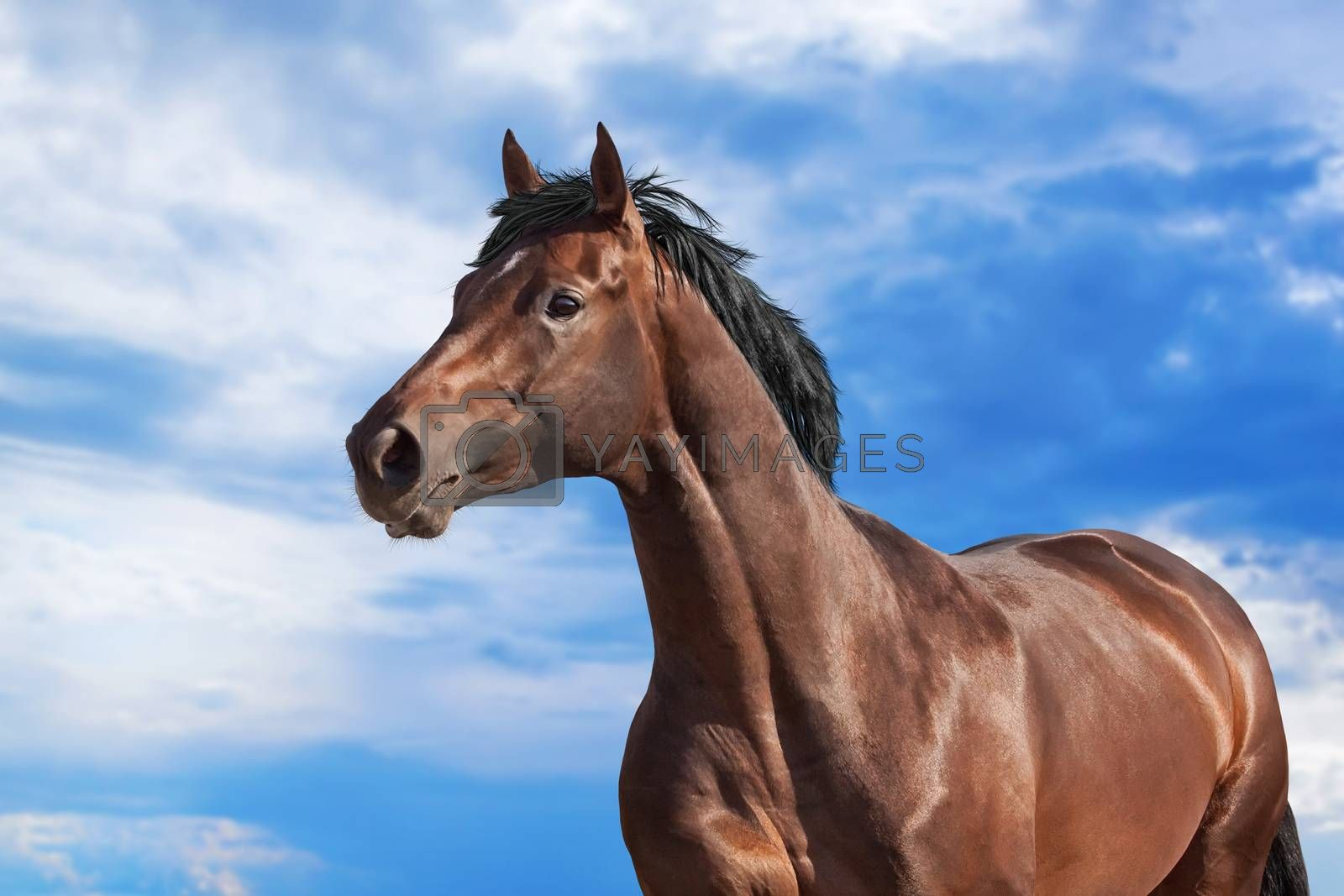 Dark bay horse on blue sky background