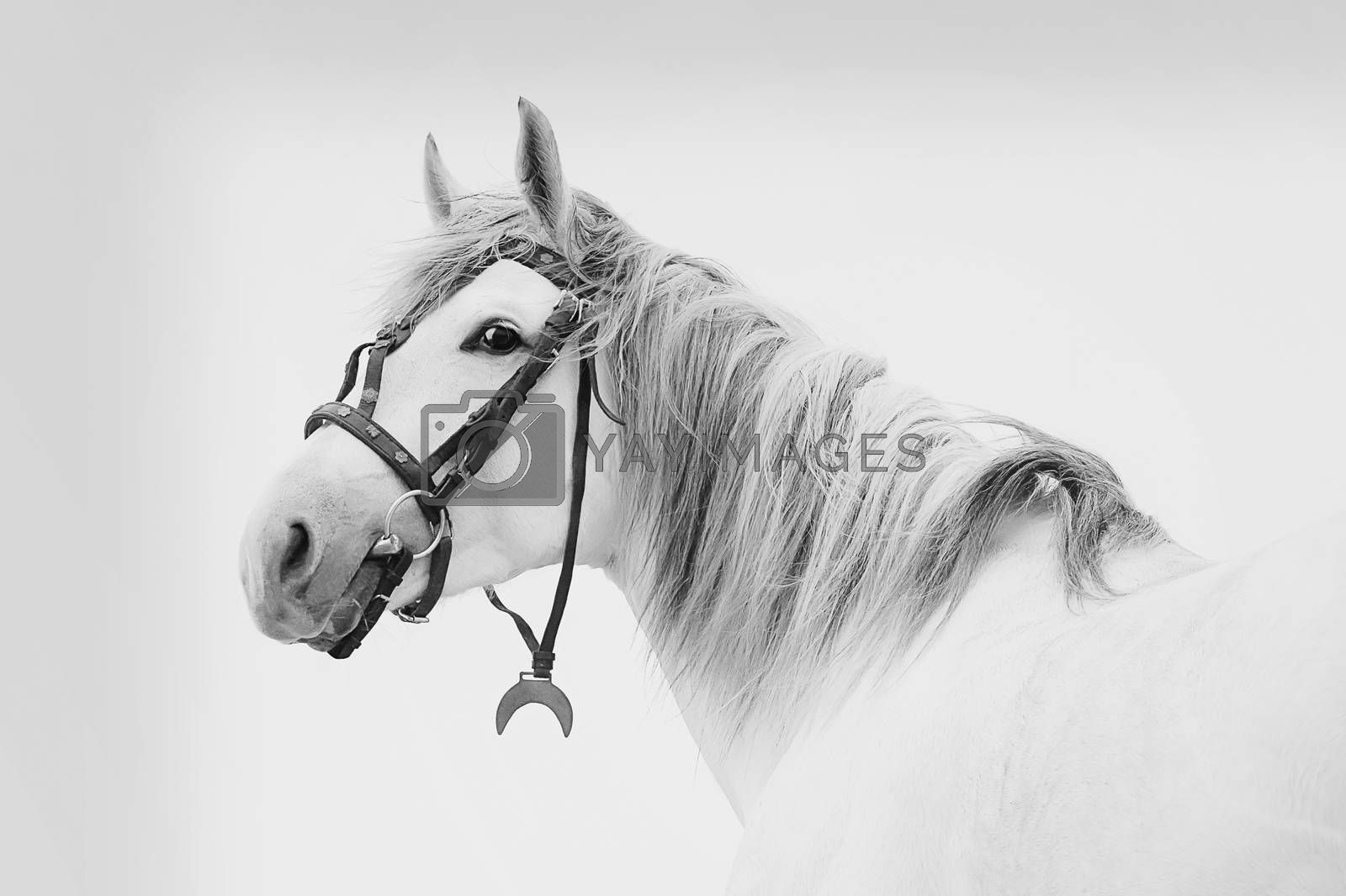 Beautiful Tersk stallion, black and white photo