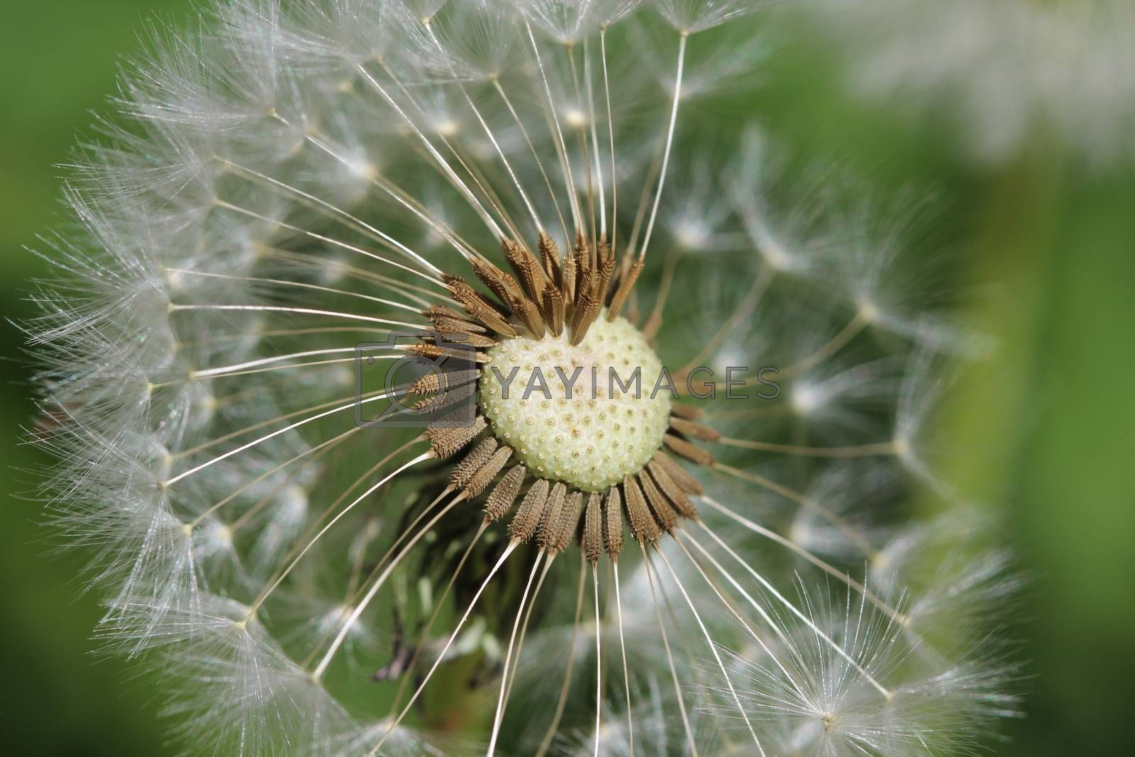 Photo shows details of a white dandelion.