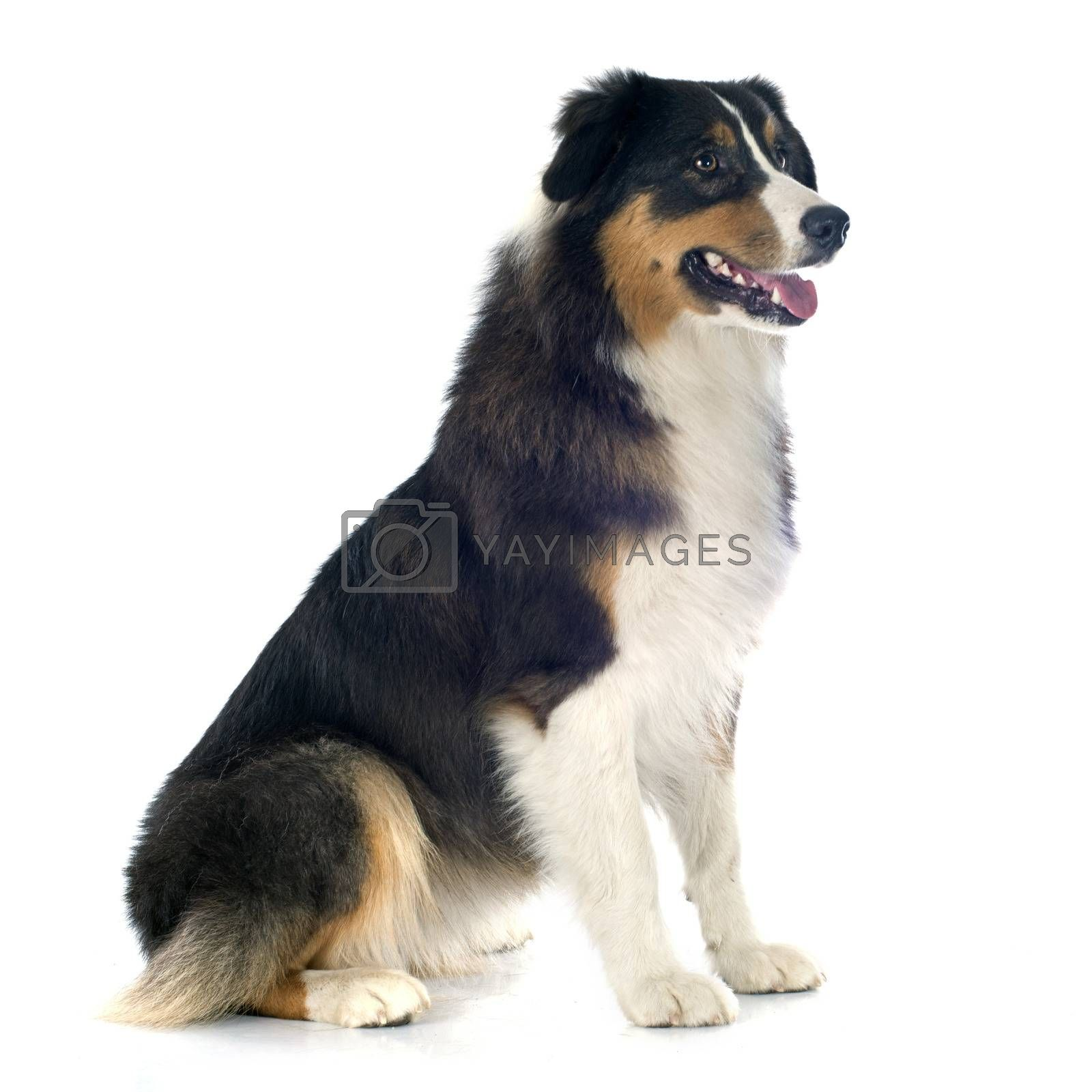 Royalty free image of australian shepherd by cynoclub