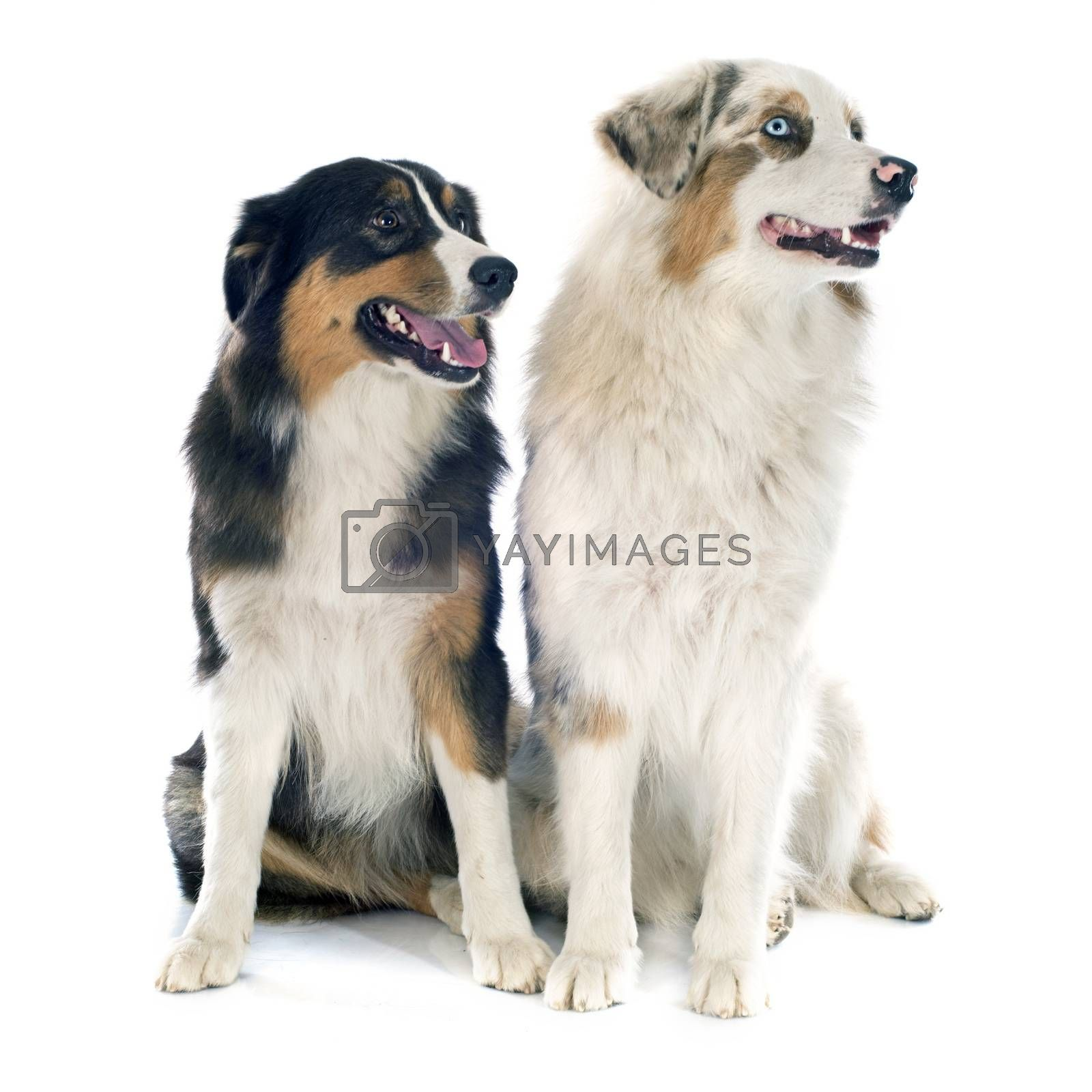 Royalty free image of australian shepherds by cynoclub