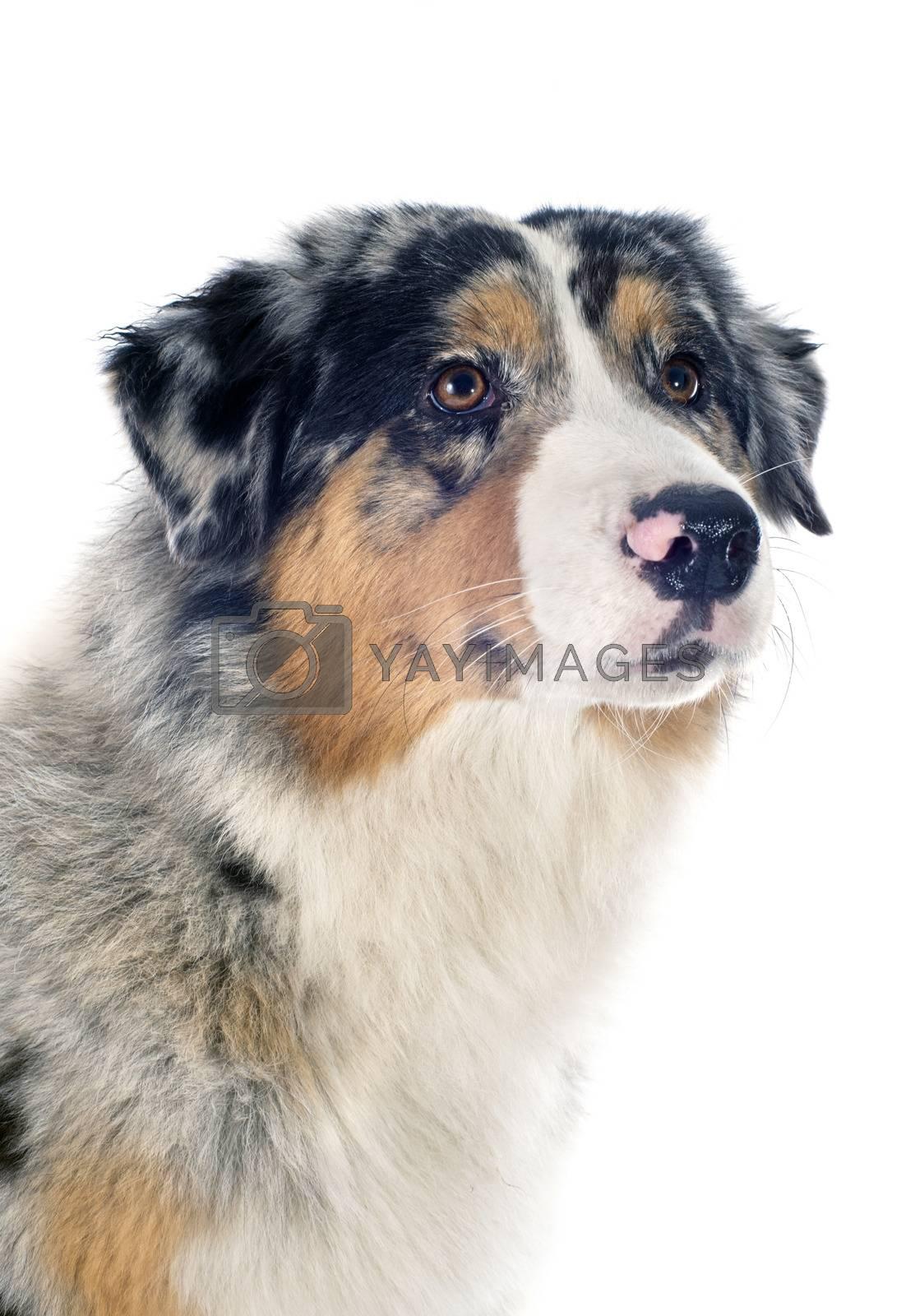 Royalty free image of australian shepherd by cynoclub