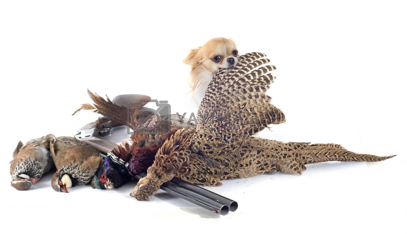 Royalty free image of hunting dog by cynoclub