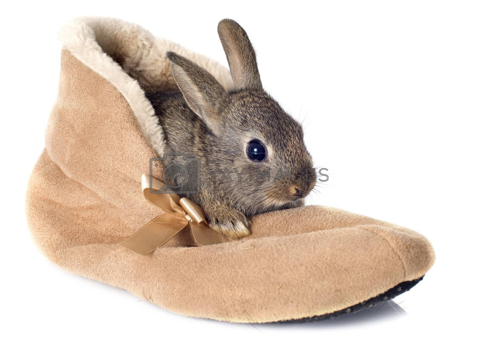 Royalty free image of European rabbit in shoes by cynoclub