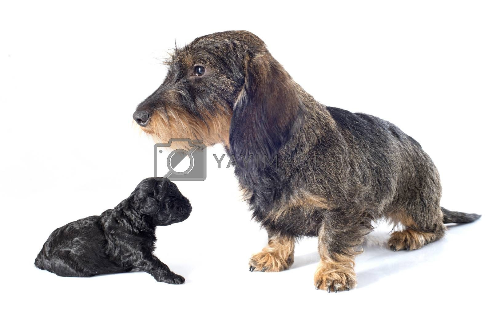 Royalty free image of puppy poodle and dachshund by cynoclub