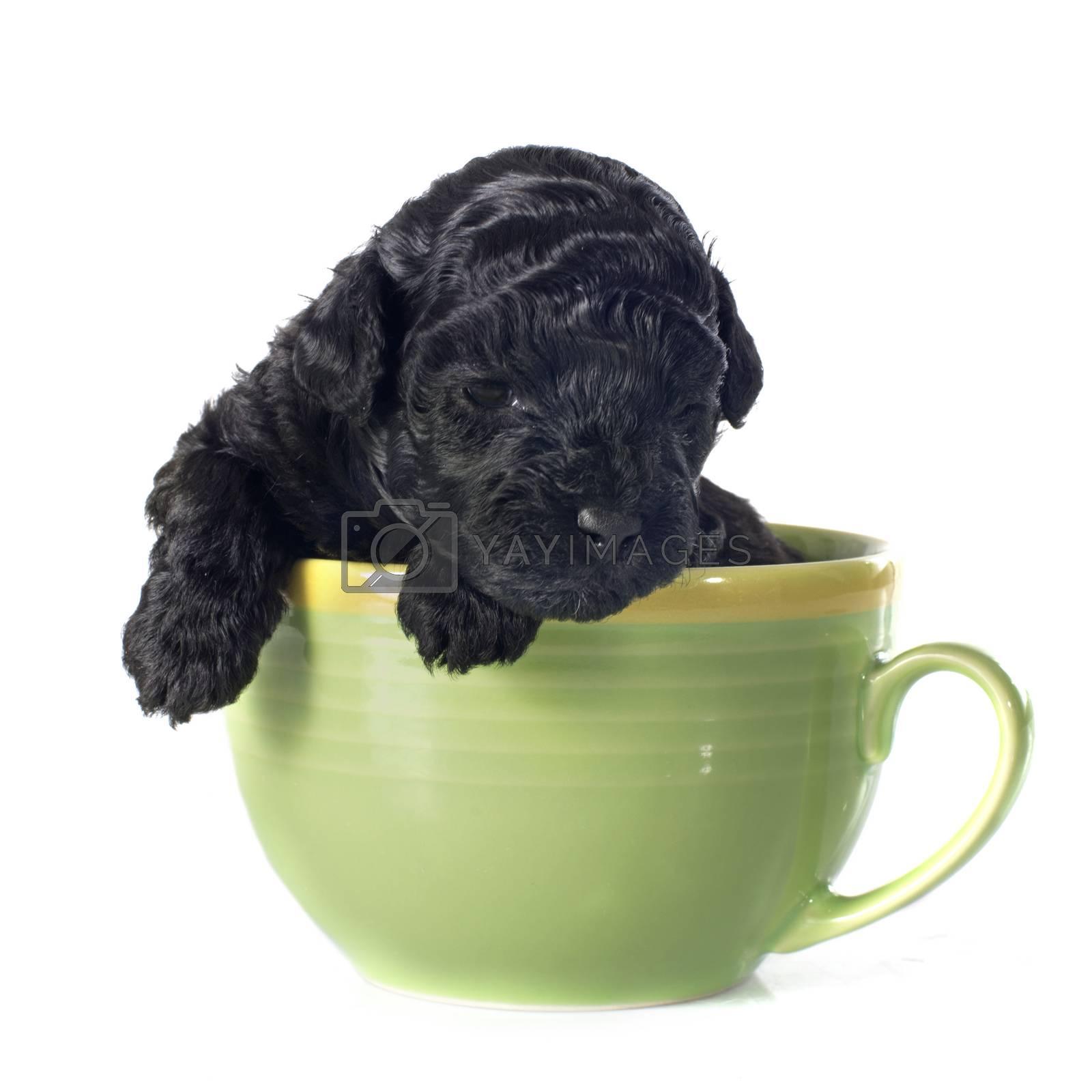 puppy poodle by cynoclub