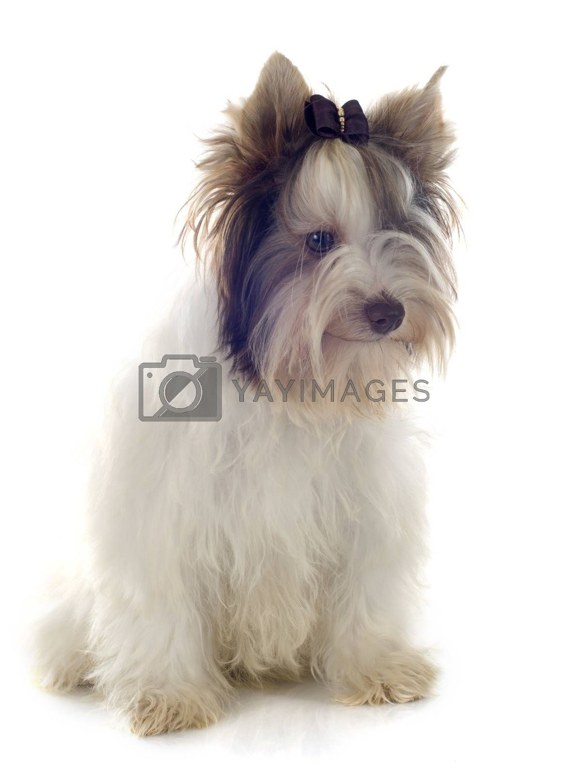 Royalty free image of biewer yorkshire terrier by cynoclub