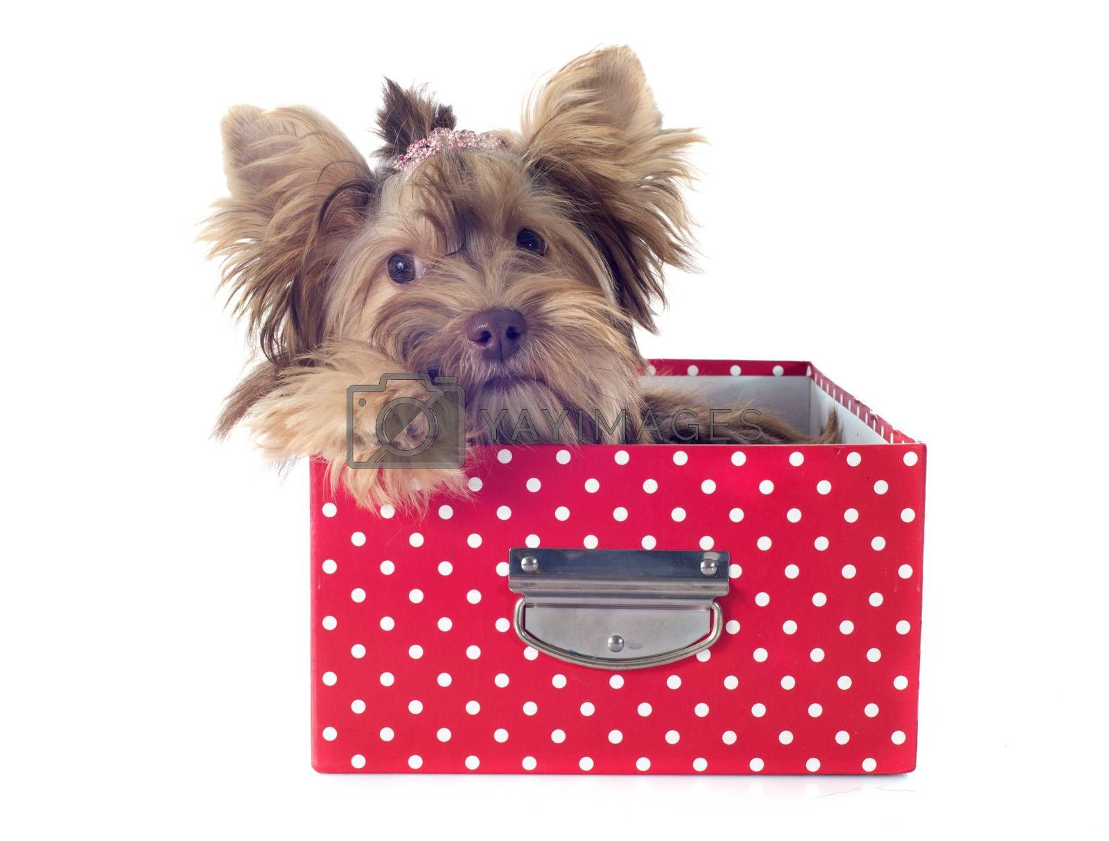 Royalty free image of chocolate yorkshire terrier by cynoclub