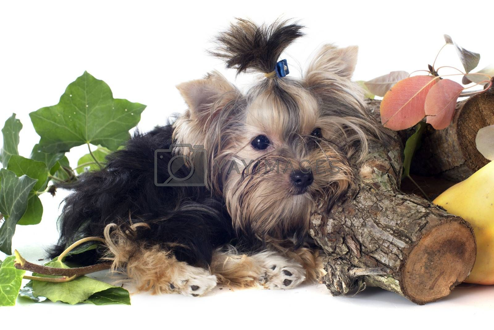 Royalty free image of puppy yorkshire terrier by cynoclub