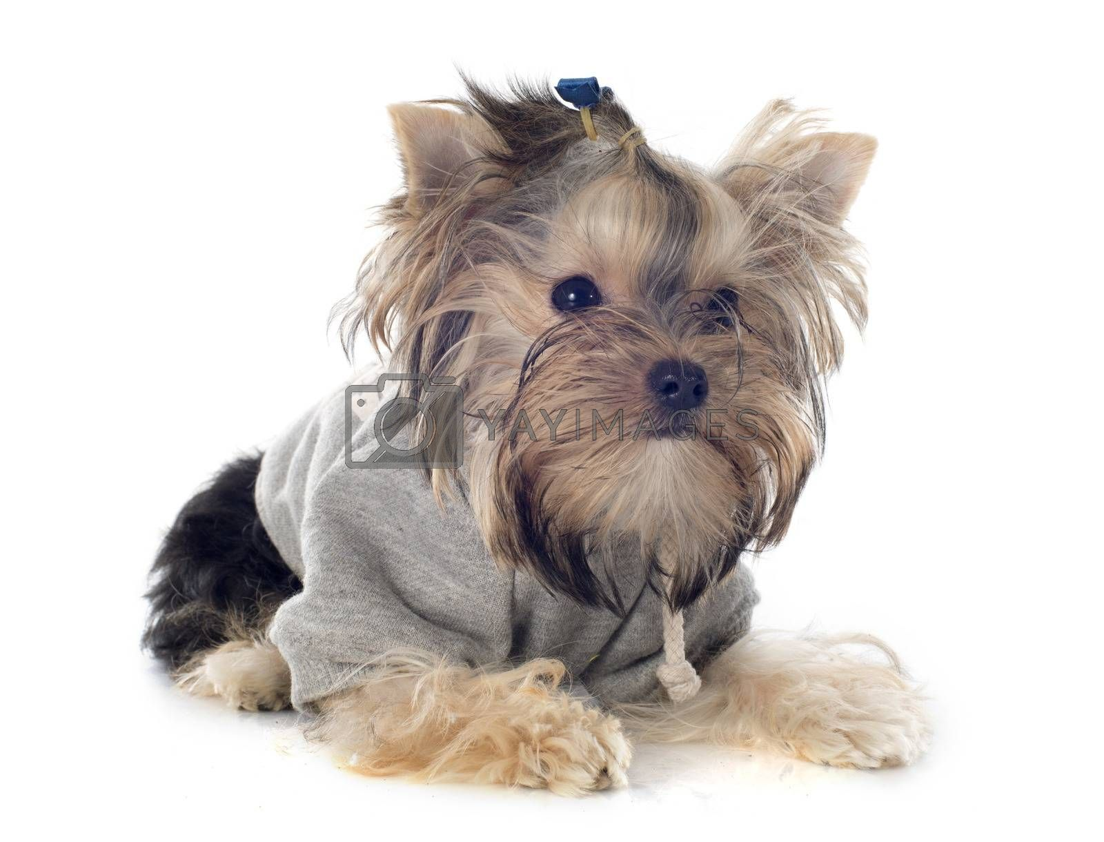 Royalty free image of yorkshire terrier by cynoclub