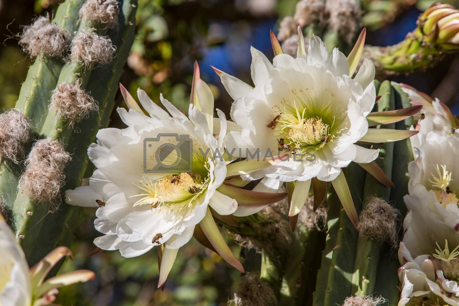 Royalty free image of Rare Night Blooming Cereus Cactus by Creatista