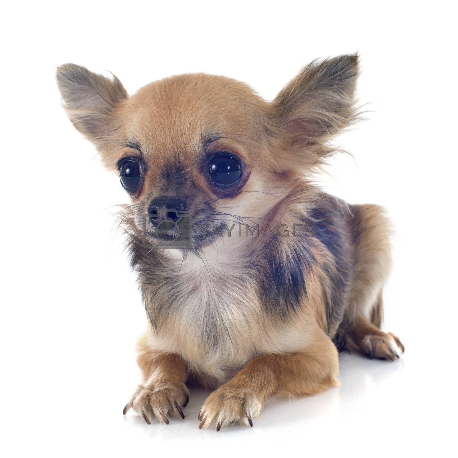 Royalty free image of puppy chihuahua by cynoclub